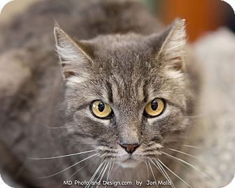 Domestic Mediumhair Cat for adoption in Fountain Hills, Arizona - Squeaky