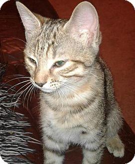 Domestic Shorthair Kitten for adoption in Burlington, North Carolina - Fuji