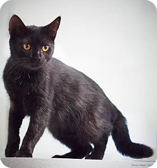 Domestic Mediumhair Cat for adoption in Lincolnton, North Carolina - Cora  $20