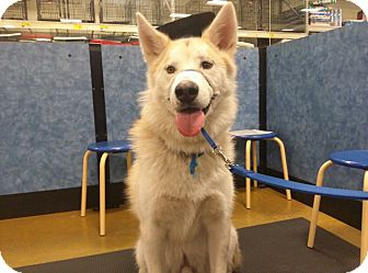 Alaskan Malamute/German Shepherd Dog Mix Dog for adoption in Kingston, Washington - HIsroo
