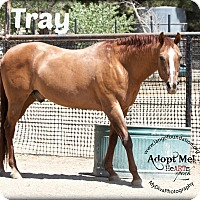 Adopt A Pet :: Tray - Canyon Country, CA