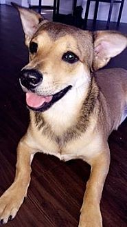 German Shepherd Dog Mix Puppy for adoption in Tampa, Florida - Zara