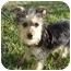 Photo 1 - Yorkie, Yorkshire Terrier Mix Puppy for adoption in West Palm Beach, Florida - Skyler