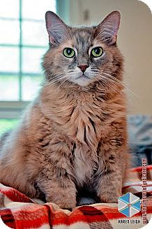 Domestic Longhair Cat for adoption in Columbia, Maryland - Emma