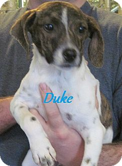 Beagle/Feist Mix Puppy for adoption in Linden, Tennessee - Duke