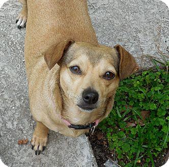 Chihuahua/Dachshund Mix Dog for adoption in Ormond Beach, Florida - Molly