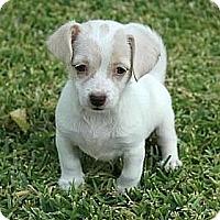 Adopt A Pet :: Harriet - La Habra Heights, CA