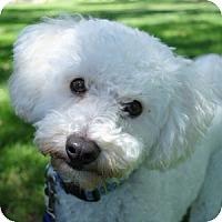 Adopt A Pet :: Dash - La Costa, CA