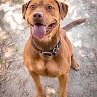 American Staffordshire Terrier Mix Dog for adoption in Santa Paula, California - Otis