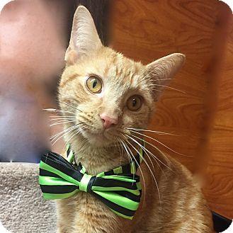 Domestic Shorthair Cat for adoption in Long Beach, New York - Lucas