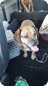 Pug/Beagle Mix Dog for adoption in Huntington Beach, California - Brody