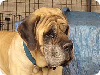 English Mastiff Dog for adoption in Zaleski, Ohio - Hoss