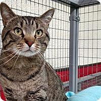 Adopt A Pet :: Shamus - Winchendon, MA