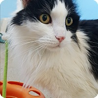 Domestic Longhair Cat for adoption in Circleville, Ohio - Tank