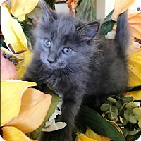 Adopt A Pet :: Teddy Bear - Orange, CA