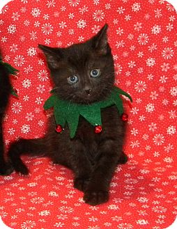 Domestic Shorthair Kitten for adoption in Stafford, Virginia - Kringle