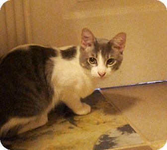 Domestic Shorthair Kitten for adoption in Chandler, Arizona - Romeo