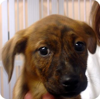 Beagle/Feist Mix Puppy for adoption in Greencastle, North Carolina - Melanie