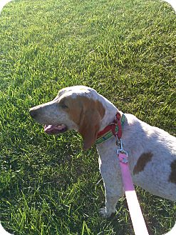 English (Redtick) Coonhound Dog for adoption in Youngstown, Ohio - Daisy ~ Adoption Pending