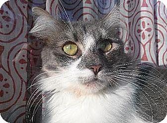 Domestic Mediumhair Cat for adoption in Los Angeles, California - Victoria