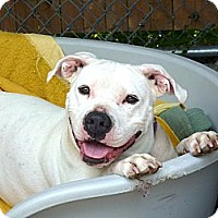 American Pit Bull Terrier Mix Dog for adoption in Carmel, New York - Maria