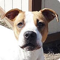 Adopt A Pet :: Stella-WELL trained! - Hadley, MI