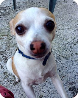 Chihuahua Mix Dog for adoption in Winter Haven, Florida - Chica