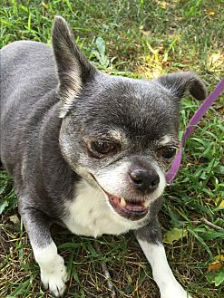 Chihuahua Dog for adoption in Greensboro, Maryland - Sam