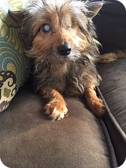 Yorkie, Yorkshire Terrier Dog for adoption in Bunnell, Florida - Kaci