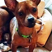 Dachshund/Miniature Pinscher Mix Dog for adoption in Antioch, California - Tater-Tot