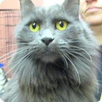 Domestic Longhair Cat for adoption in Reeds Spring, Missouri - SilverPaws