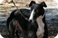 Greyhound Dog for adoption in Knoxville, Tennessee - Pogo