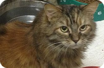 Domestic Longhair Cat for adoption in Schererville, Indiana - Liz