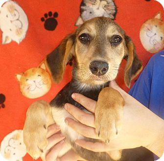 Golden Retriever/Shepherd (Unknown Type) Mix Puppy for adoption in Oviedo, Florida - Moxi