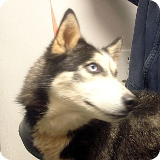 Husky Dog for adoption in Greencastle, North Carolina - Madonna