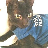 Domestic Shorthair Cat for adoption in Miami, Florida - Splinter