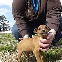 Adopt A Pet :: Annie Oakley - Danbury, CT