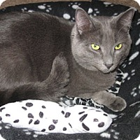 Domestic Shorthair Cat for adoption in Verdun, Quebec - Tommy