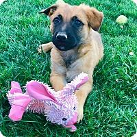 Adopt A Pet :: Zephyr - Studio City, CA