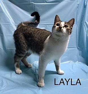 Domestic Shorthair Kitten for adoption in Davison, Michigan - Layla