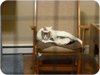 Domestic Shorthair Cat for adoption in Fredericton, New Brunswick - Tommy