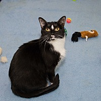 Domestic Shorthair Cat for adoption in Chicago, Illinois - Whitesocks