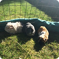 Adopt A Pet :: Gracie, Puff, Buttercup - Chewelah, WA