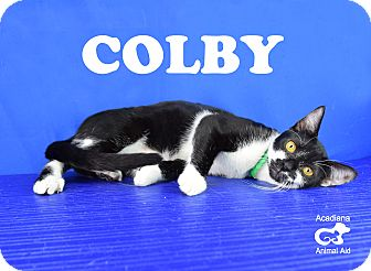 Domestic Shorthair Cat for adoption in Carencro, Louisiana - Colby