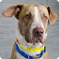 Adopt A Pet :: Alan Jackson 'AJ' - Denver, CO