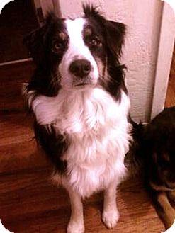 Australian Shepherd Dog for adoption in Sacramento, California - Dixie purebred Urgent