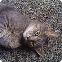 Adopt A Pet :: El Tigra - free to seniors - Rochester, NY