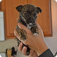 Adopt A Pet :: Penny - Homewood, AL