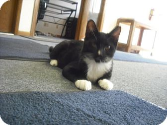 Domestic Shorthair Kitten for adoption in Mesa, Arizona - Tux