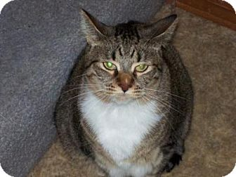 Domestic Shorthair Cat for adoption in Kelso/Longview, Washington - Bonni